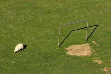 One sheep and soccer goal