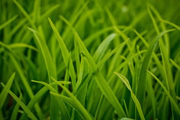 Green black grass