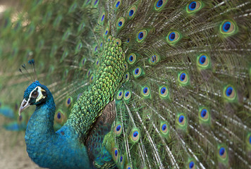 Detail of beautiful peacock with feathers.