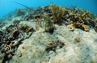 Fototapete - Underwater lobster