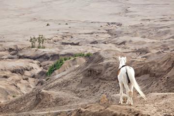 White horse against desert