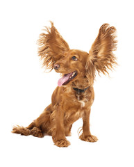 adorable cocker spaniel with flying ears in studio
