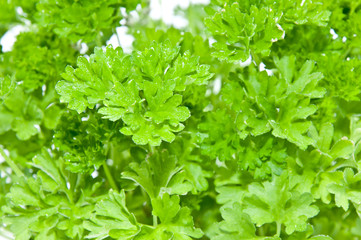 Water wetted Parsley