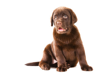 Chocolate Retriever puppy on isolated white