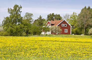 Yellow field in front of typical swedish cottage.