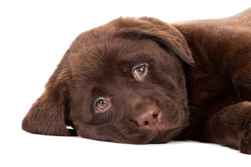 Close-up portrait of Chocolate Retriever puppy on isolated white