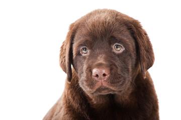 Close-up portrait of Chocolate Retriever puppy