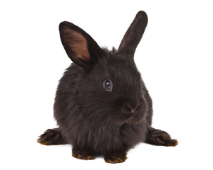 Small racy dwarf black bunny isolated
