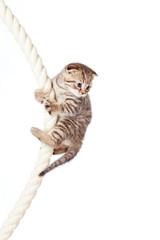 Scottish fold kitten climbing on rope isolated on  white backgro