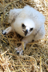 Baby eagle(golden eagle)