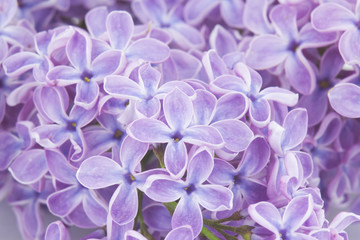 Wall Murals Lilac Blooming lilac flowers