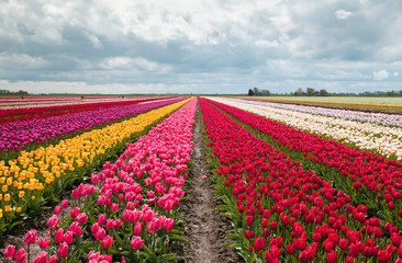 Foto op Canvas Tulp pink, red and orange tulip field