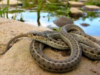 Garter Snake Colorado