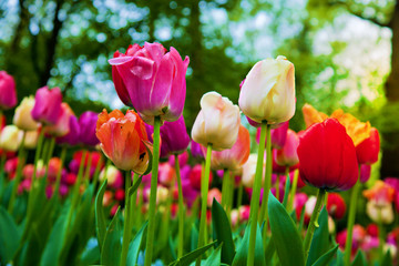 Colorful tulip flowers in spring park, garden