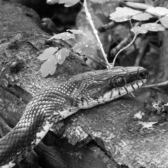 Black rat snake resting on a dead tree