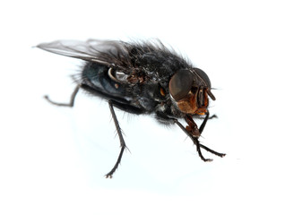 Home-fly isolated on white