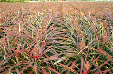 Large Field with Pineapples