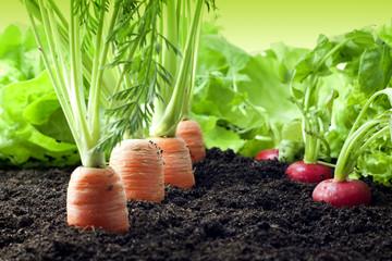 Foto op Plexiglas Groenten Vegetables growing in the garden