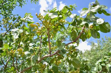Close up of pistachio buds