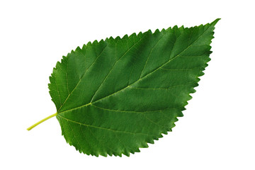 Green leaf mulberry isolated on white background