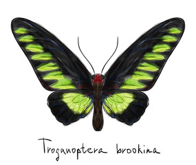 Butterfly Troganoptera Brookina (male). Watercolor imitation.