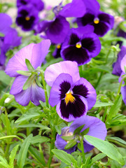 Papiers peints Pansies Bouquet of beautiful violets in the garden