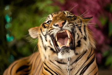 The tiger growls