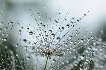Photo sur Toile Pissenlits et eau dandelion seeds with drops
