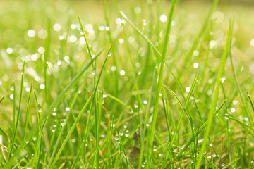 fresh green grass with dew in sunshine