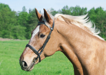 portrait of palomino horse in spring field in action