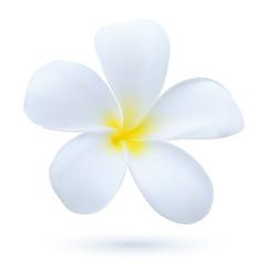 Hawaii flower Frangipani, white tropical Plumeria