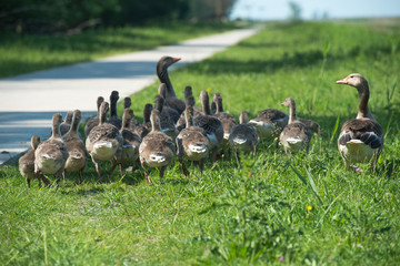 Geese and goslings walking along a footpath