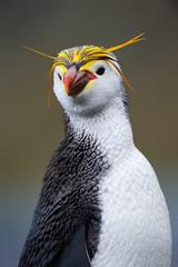 Portrait of a Royal Penguin.