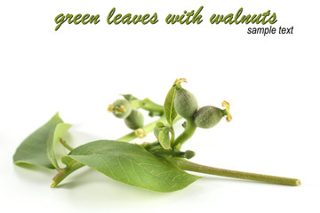 green leaves of walnuts