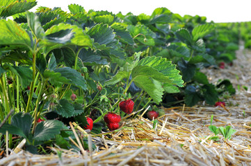 Frische Erdbeeren vom Feld