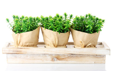 thyme herb plants in pots with beautiful paper decor