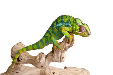 Colorful chameleon (5)
