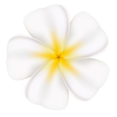 Beautiful frangipani