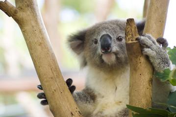 Garden Poster Koala Koala in Tree at Taronga Zoo, Sydney, Australia