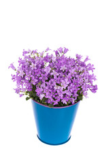 Campanula Flower in a Pot