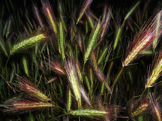 beauty barley