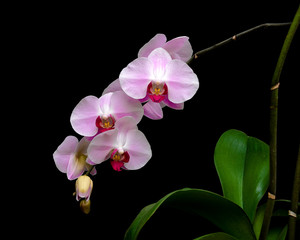 pink phalaenopsis orchid against a black background