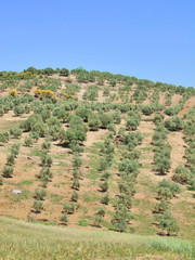 Nice spanish landscape  with young olive garden at spring