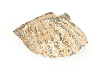 Very old fossil of a shell