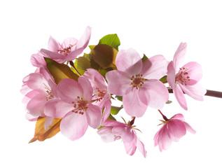 Spring blossom flower. Isolated over white