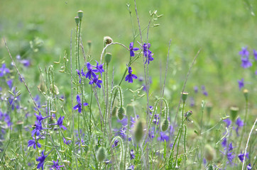 Violet flowers in the meadow, background 5