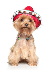 Yorkshire terrier in hat on a white background