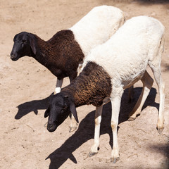 black and white sheep in an open cage at the zoo