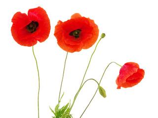Foto op Canvas Poppy red poppies