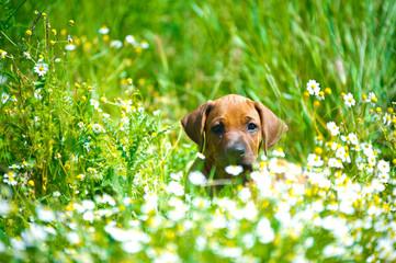 Rhodesian ridgeback puppy in a field